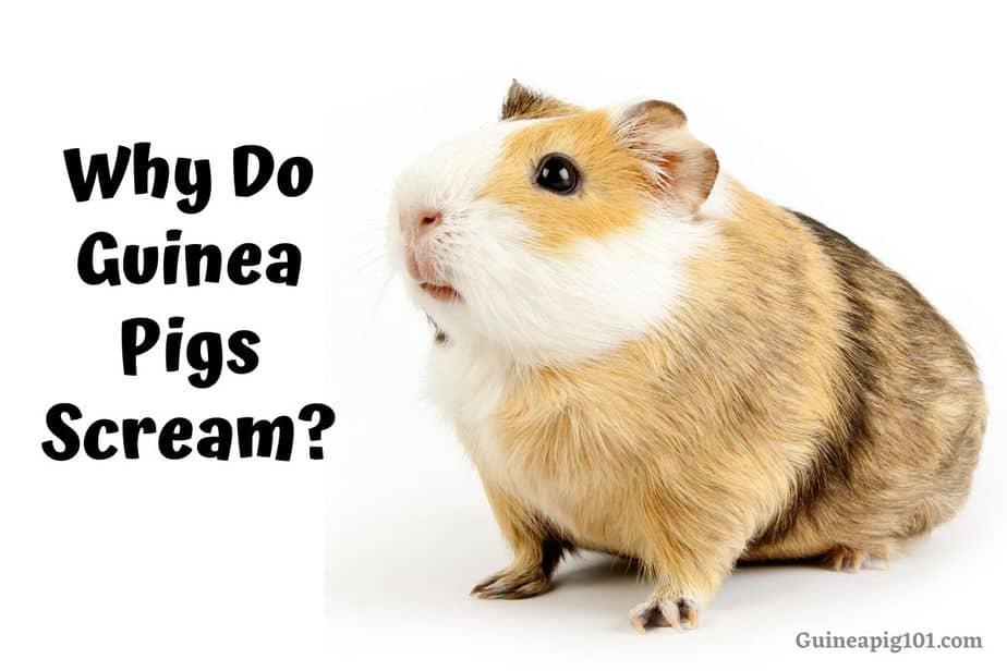 Why Do Guinea Pigs Scream