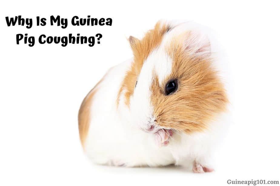 Why Is My Guinea Pig Coughing