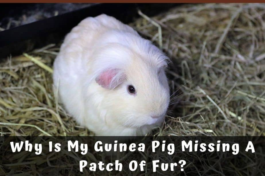 Why Is My Guinea Pig Missing A Patch Of Fur