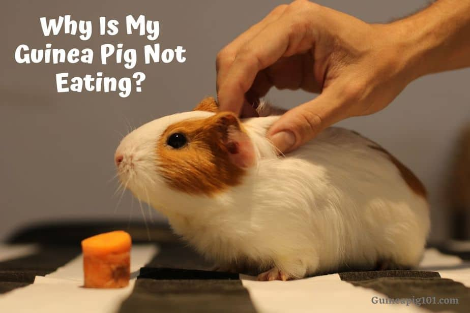Why Is My Guinea Pig Not Eating