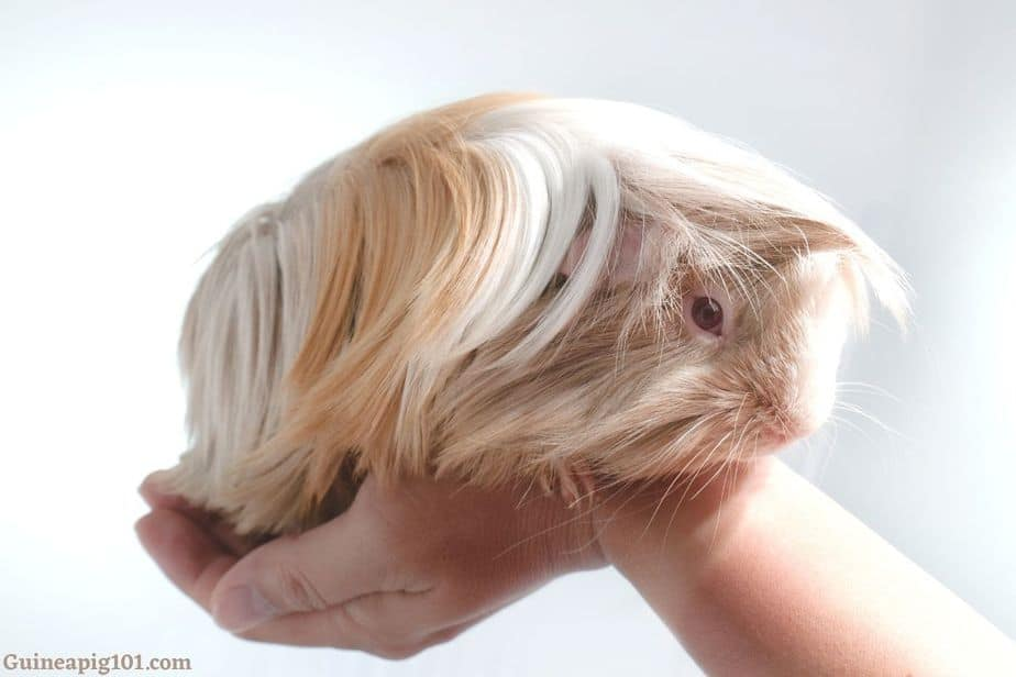 What does it mean when your guinea pig doesn't eat