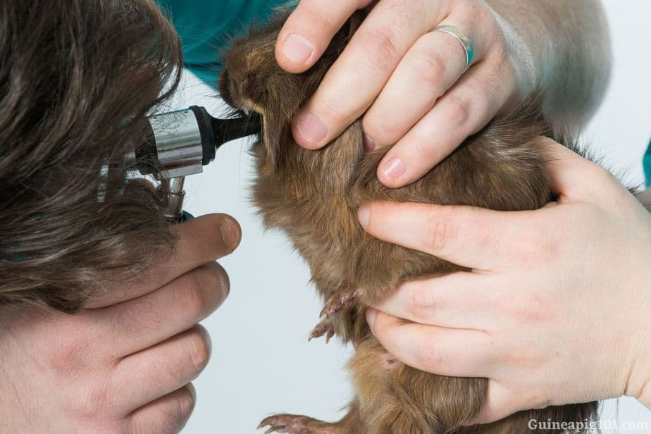 Dental problems in guinea pigs