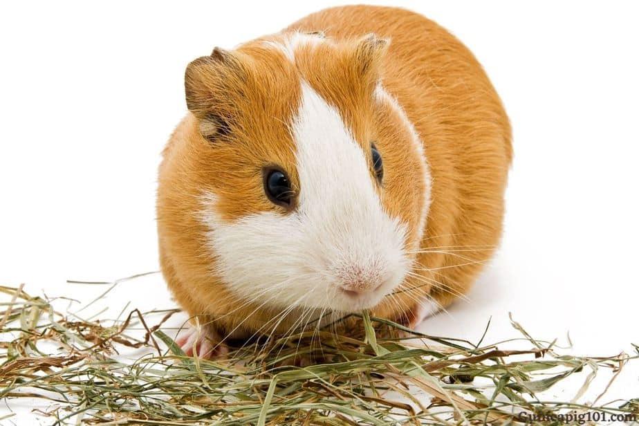 Best Guinea Pig Hay