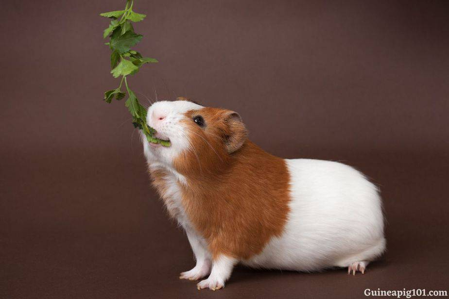 How much cilantro can guinea pigs eat?