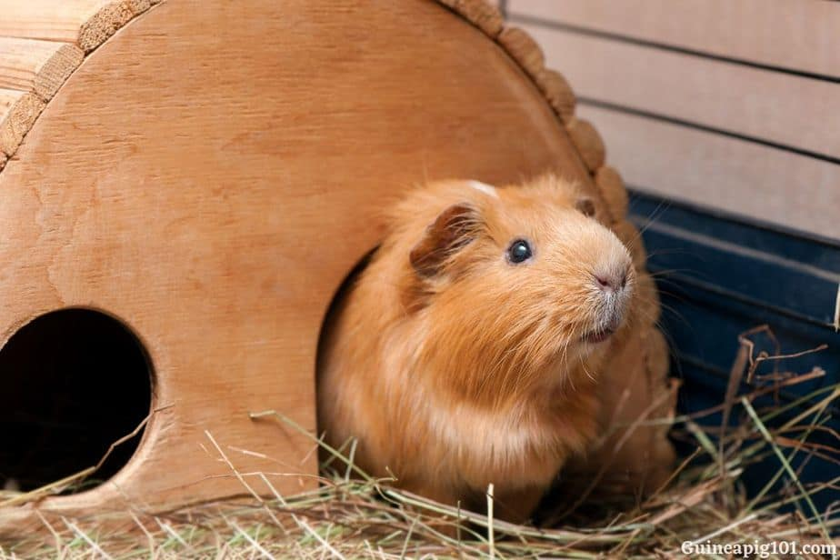 guinea pig running away and hiding
