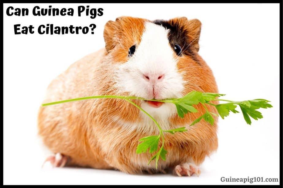 Guinea Pigs Eat Cilantro