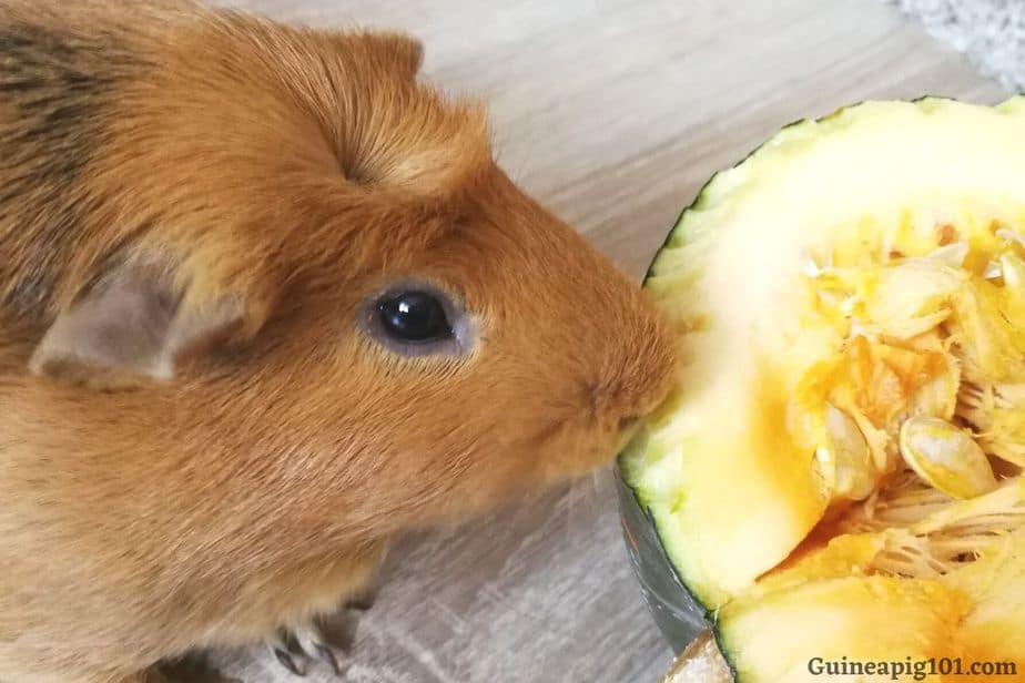 Are guinea pigs allergic to pumpkin?