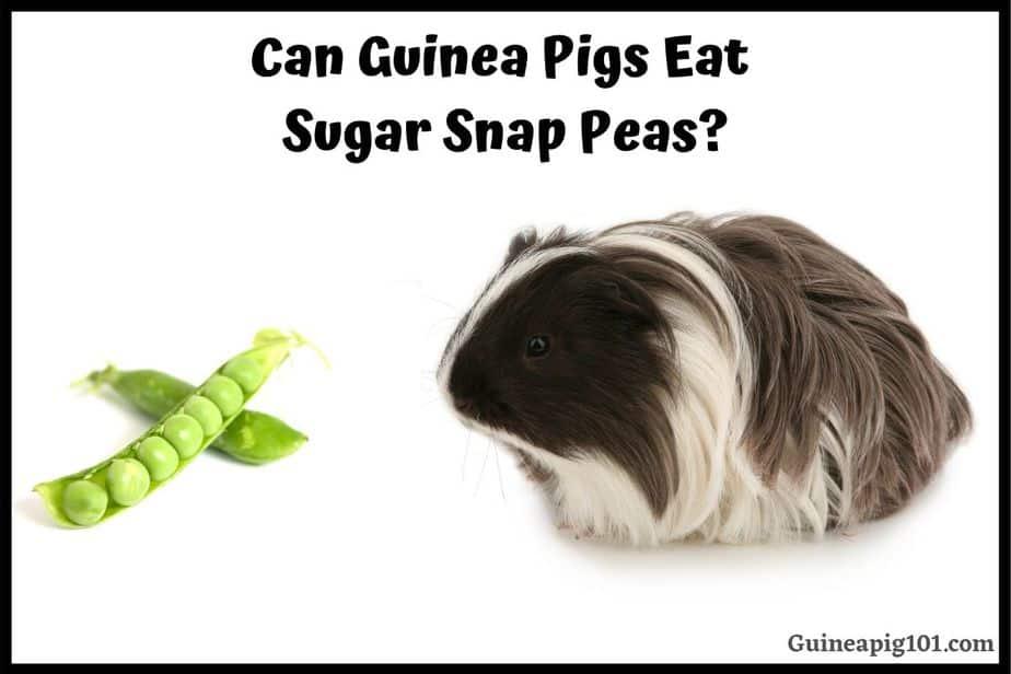 Can Guinea Pigs Eat Sugar Snap Peas