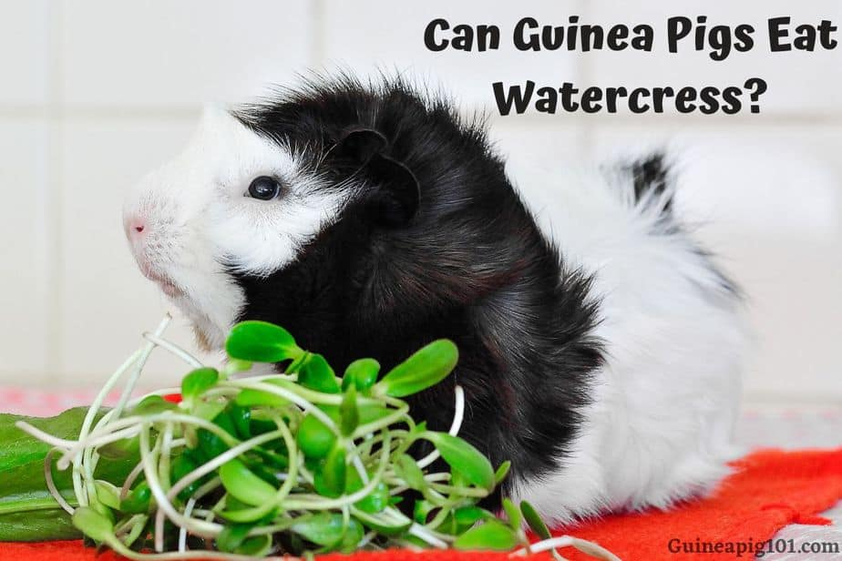 Guinea Pigs Eat Watercress