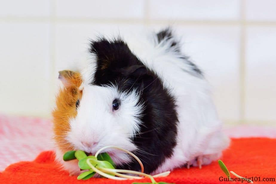 How much watercress can I give to my guinea pigs?