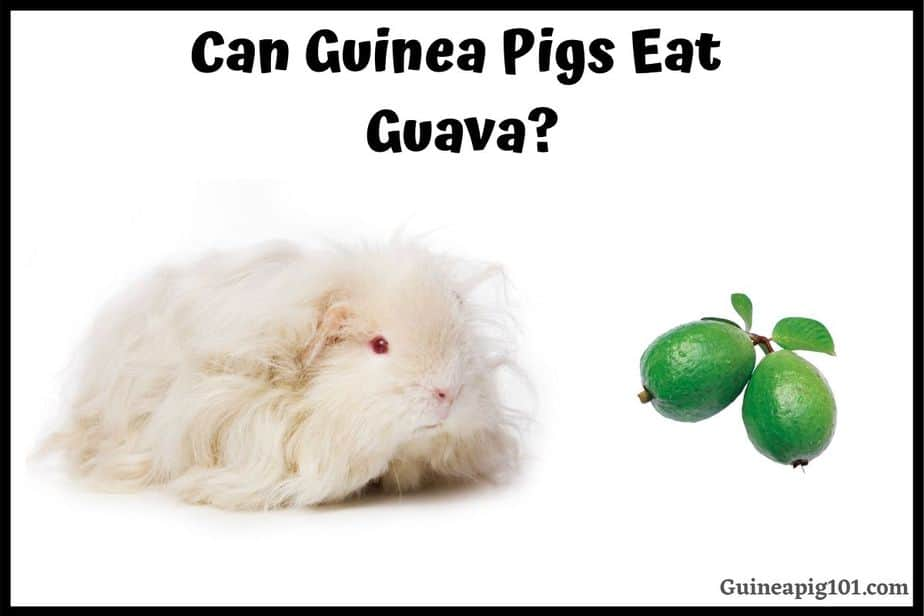 Can Guinea Pigs Eat Guava