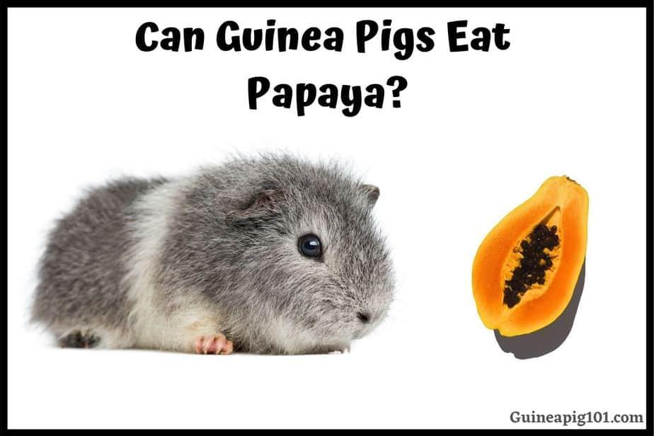Can Guinea Pigs Eat Papaya