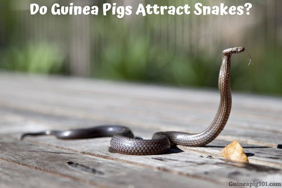 Do Guinea Pigs Attract Snakes?