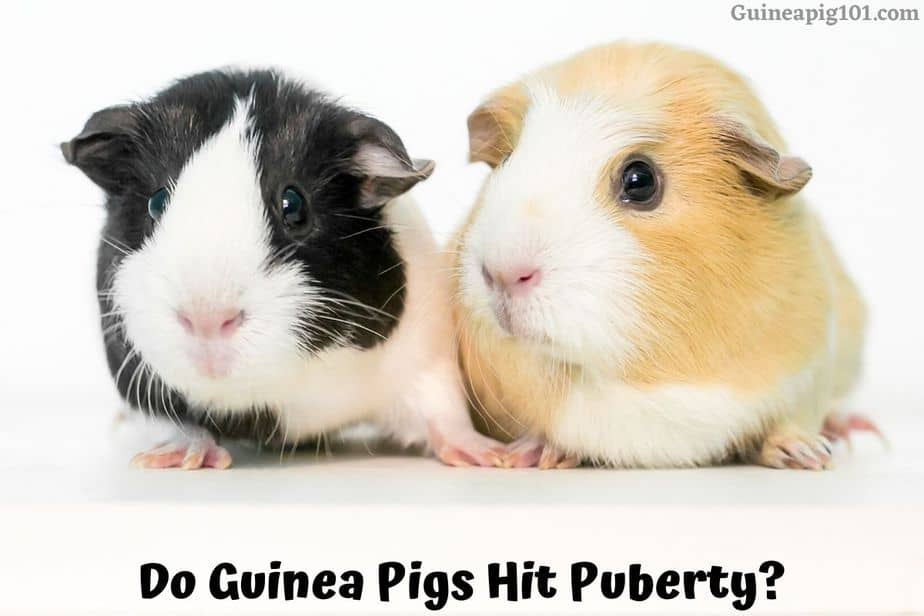 Do Guinea Pigs Hit Puberty
