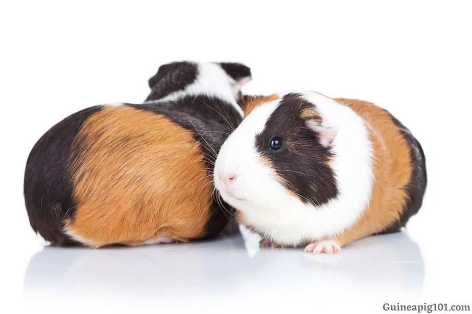 Grooming guinea pig