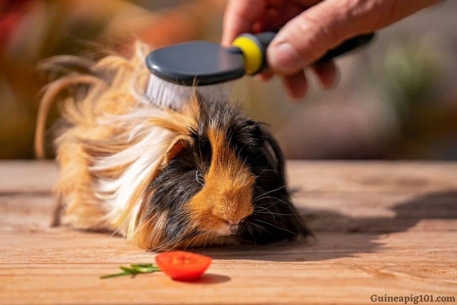 do we need to groom our guinea pigs