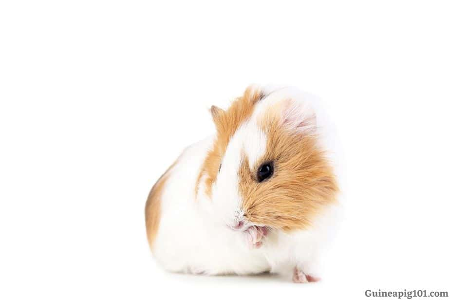 Guinea pig pulling its fur out