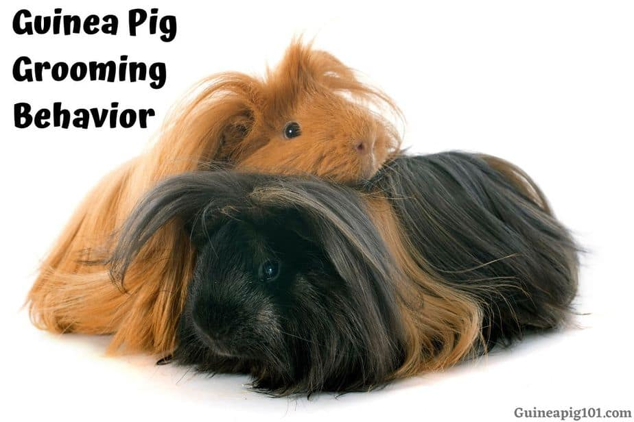 Guinea Pig Grooming Each Other
