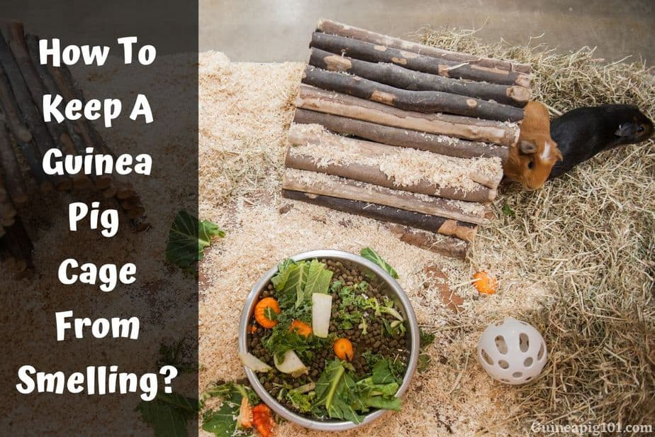 How To Keep A Guinea Pig Cage From Smelling?