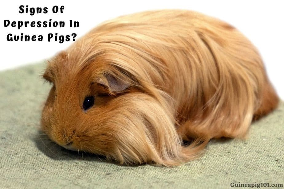 Signs Of Depression In Guinea Pigs