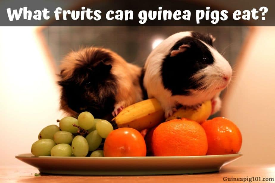 What fruits can guinea pigs eat