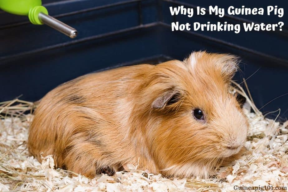 Guinea Pig Not Drinking Water
