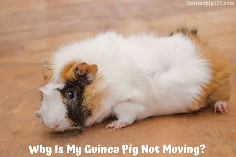 Guinea Pig Not Moving