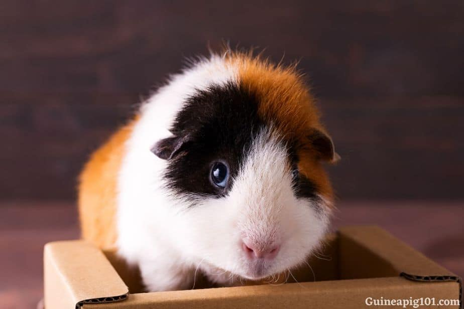 Can guinea pigs chew on cardboard?