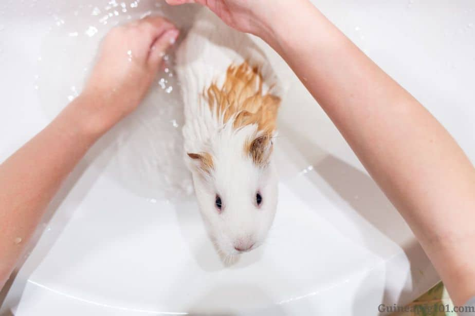Bathing your guinea pigs