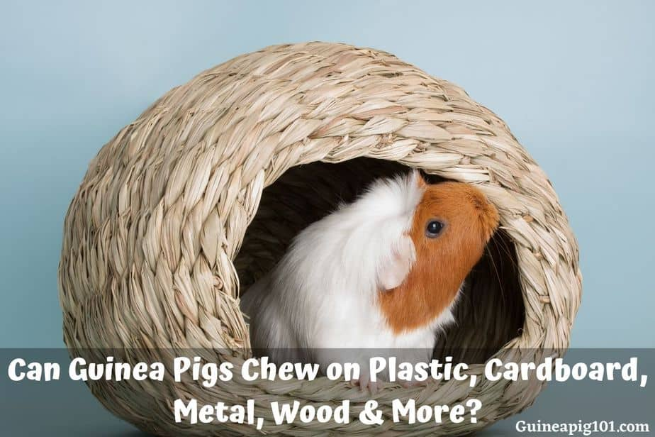 Can Guinea Pigs Chew on Plastic, Cardboard, Metal, Wood & More