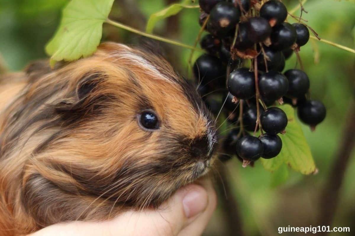 Can Guinea Pigs Eat Elderberries? (Hazards, Serving Size & More)