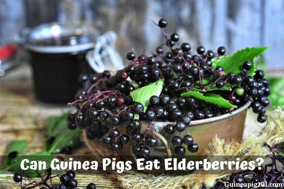 Can Guinea Pigs Eat Elderberries