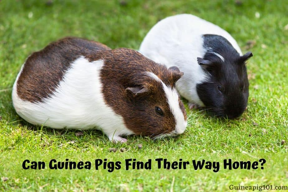 Can Guinea Pigs Find Their Way Home