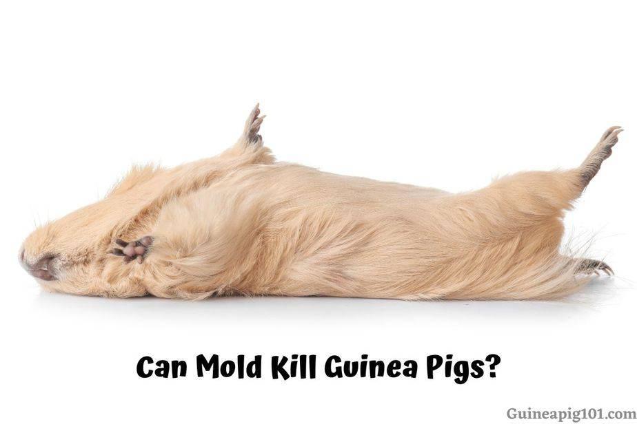 Can Mold Kill Guinea Pigs