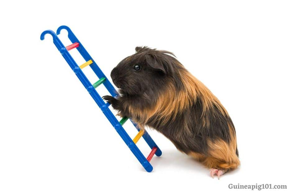 Do guinea pigs like to climb?