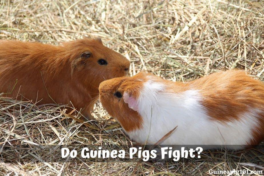 Do Guinea Pigs Fight