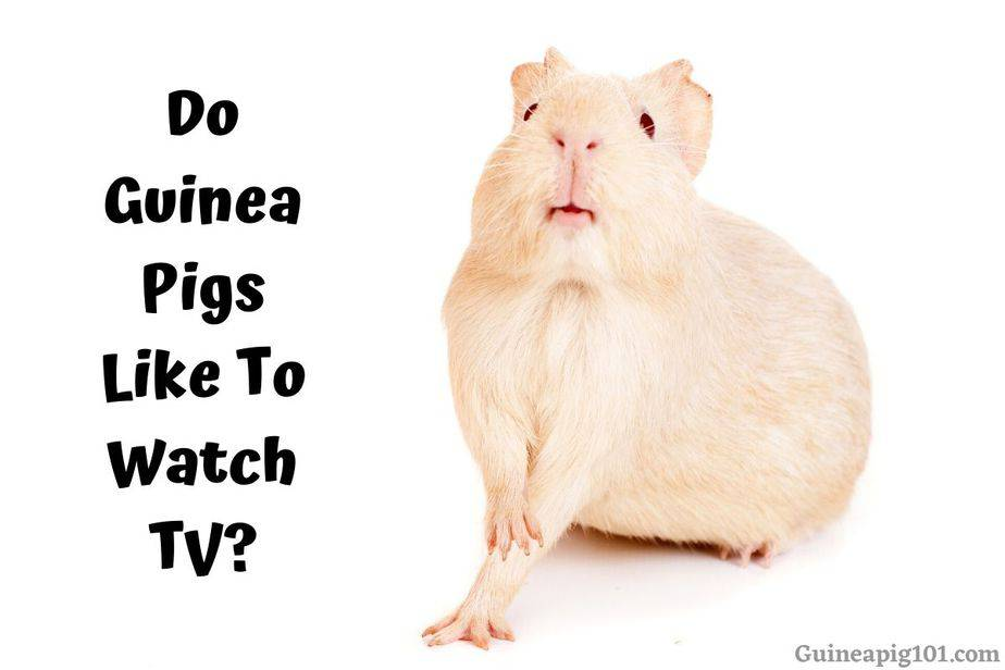 Do Guinea Pigs Like To Watch TV