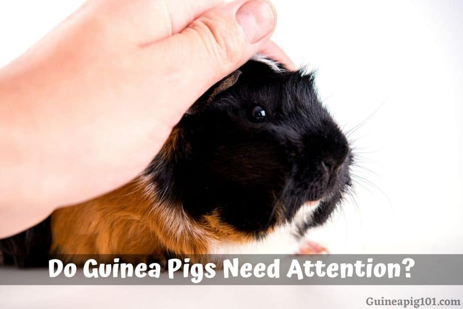Do Guinea Pigs Need Attention