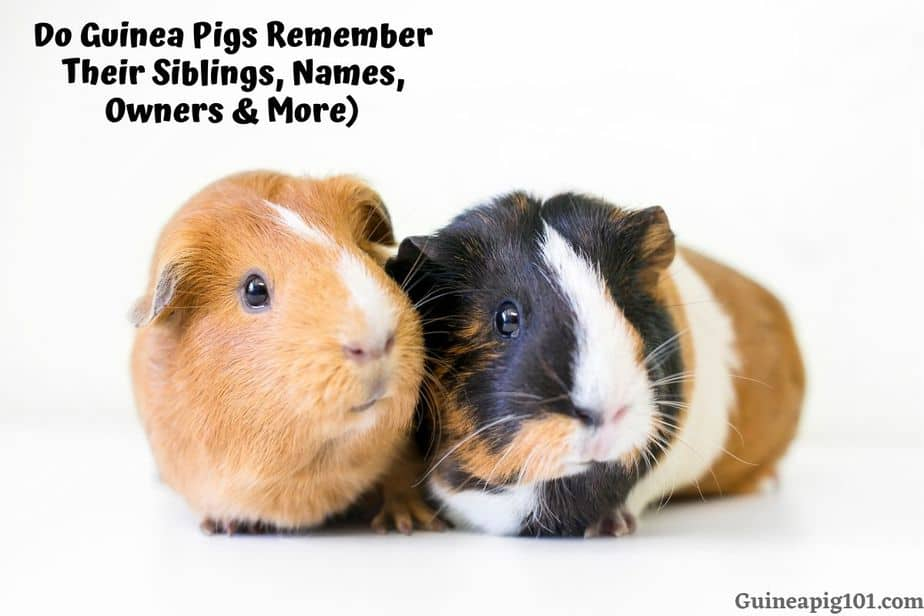 Do Guinea Pigs Remember things