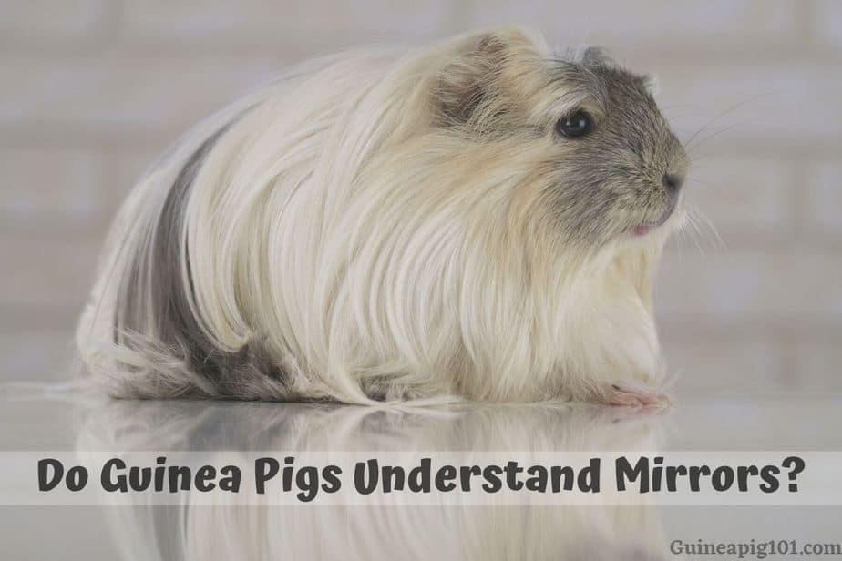 Do Guinea Pigs Understand Mirrors