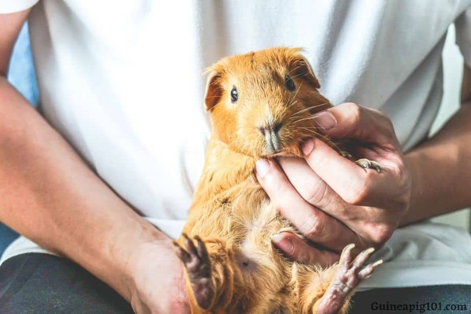 Will a massage help my guinea pigs hind legs