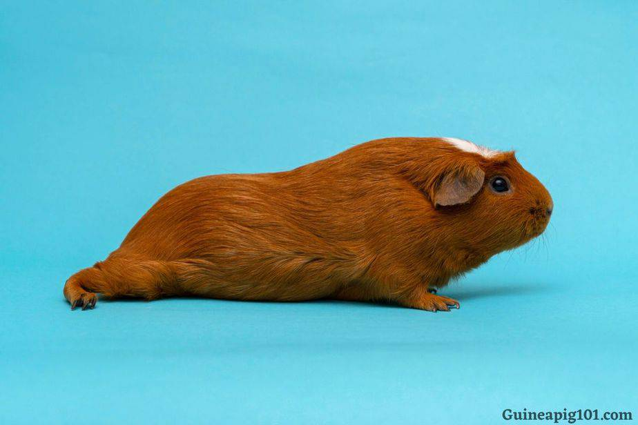 My guinea pig is limping
