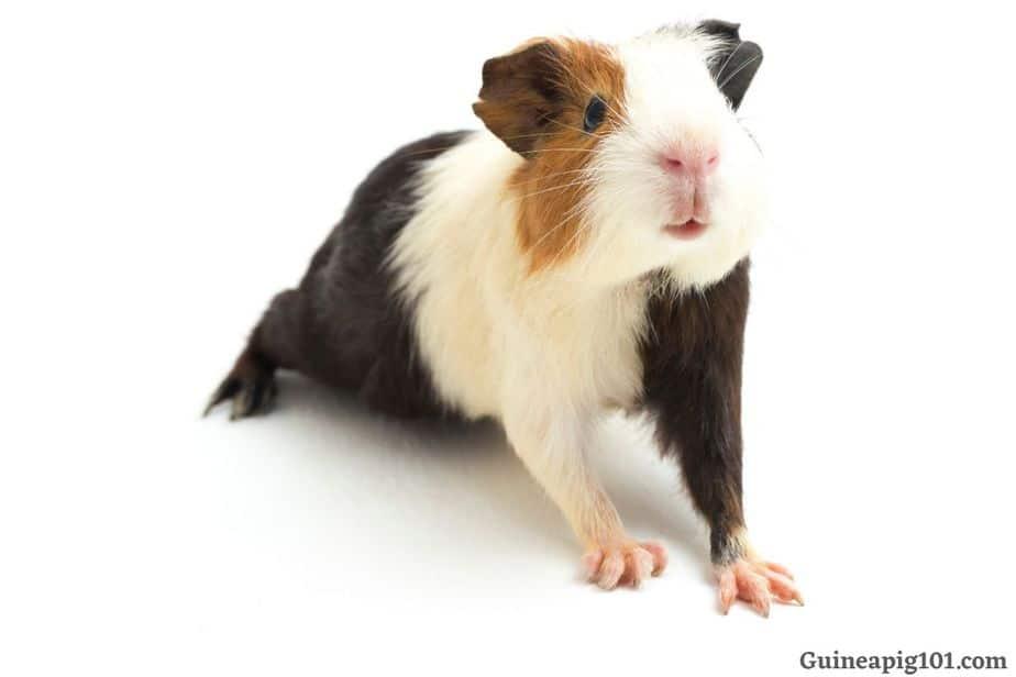 My guinea pig back leg not moving