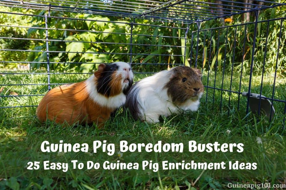 Guinea Pig Boredom Busters_ 25 Easy To Do Guinea Pig Enrichment Ideas