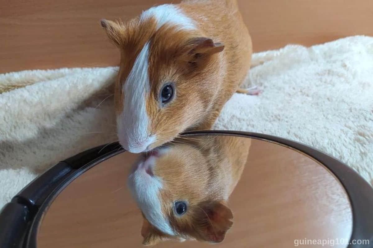 Guinea Pigs Understand Mirrors
