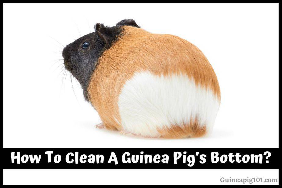 How To Clean A Guinea Pig's Bottom?