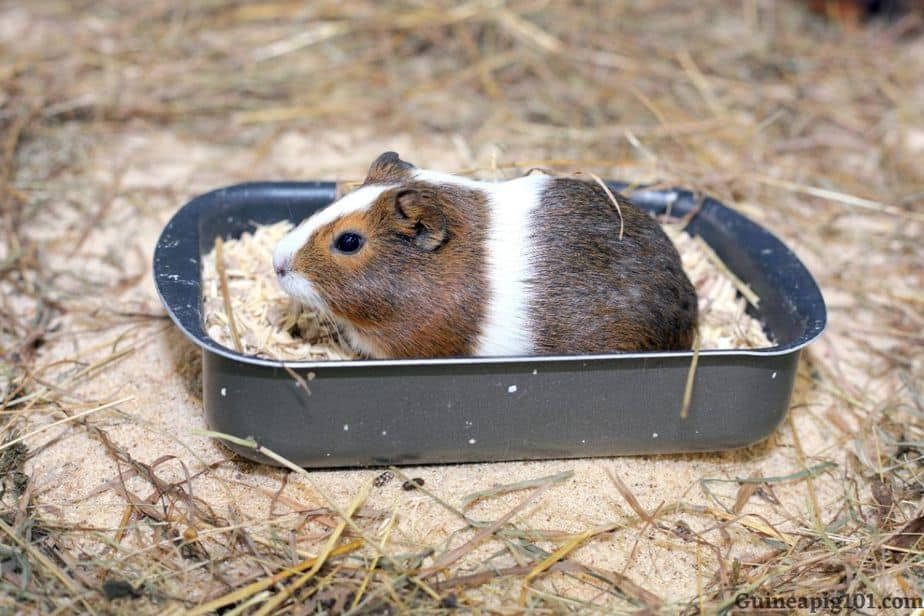 How do you train a guinea pig to use a litter box?