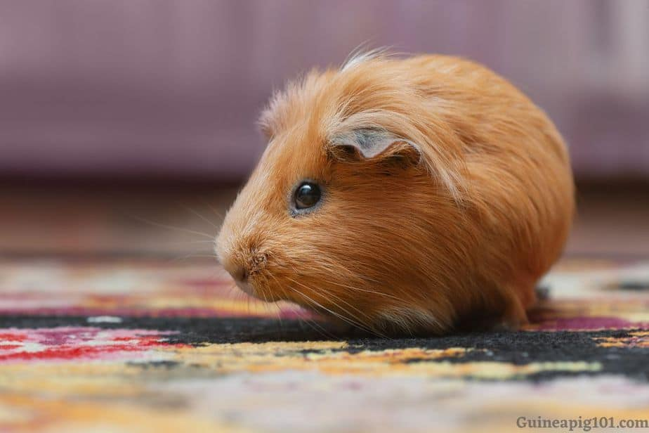 Guinea pig running circles in a cage