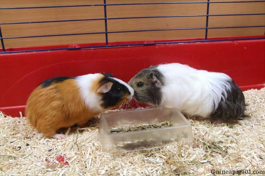 Guinea pig touching nose to apologise