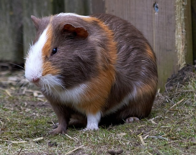 Do guinea pigs throw up in any way?